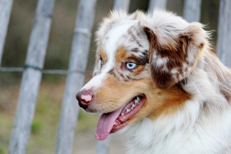 Chien berger américain miniature de couleur rouge merle, il a les yeux bleus très clairs, en arrière plan on peut distinguer une clôture en bois d'acacia