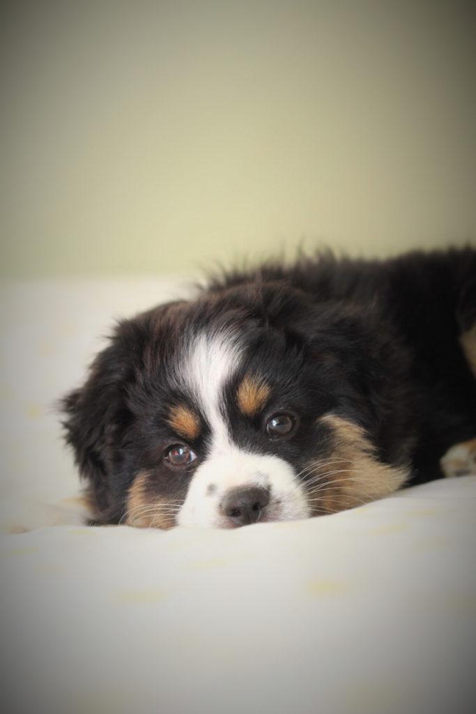 Chiot allongé sur un lit son pelage est de couleur noire tricolore