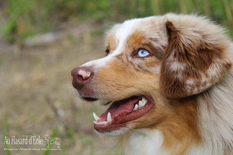 Chien de race berger américain miniature de couleur rouge merle ses yeux sont bleus, le chien à la gueule légèrement ouverte, photo prise en extérieur
