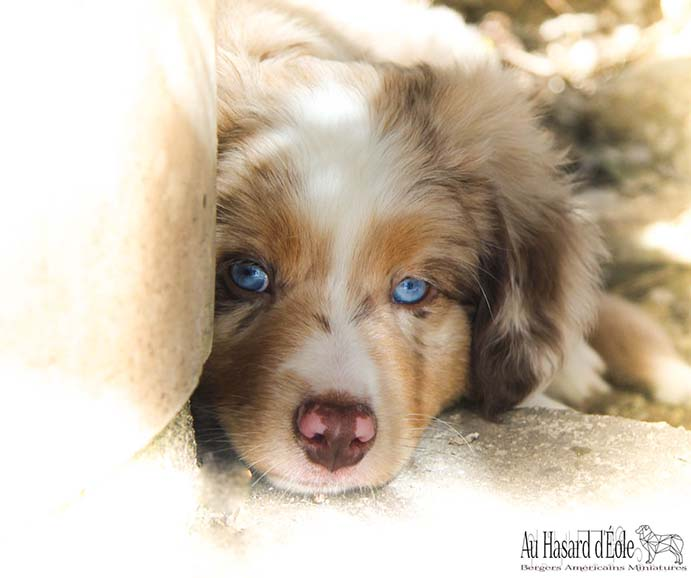 Portrait d'un chiot berger américain miniature de couleur rouge merle avec les yeux bleus il a la tête posée au sol